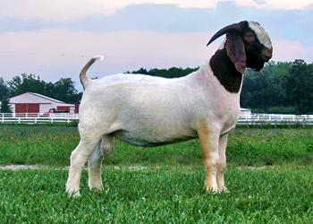 Poker face goat